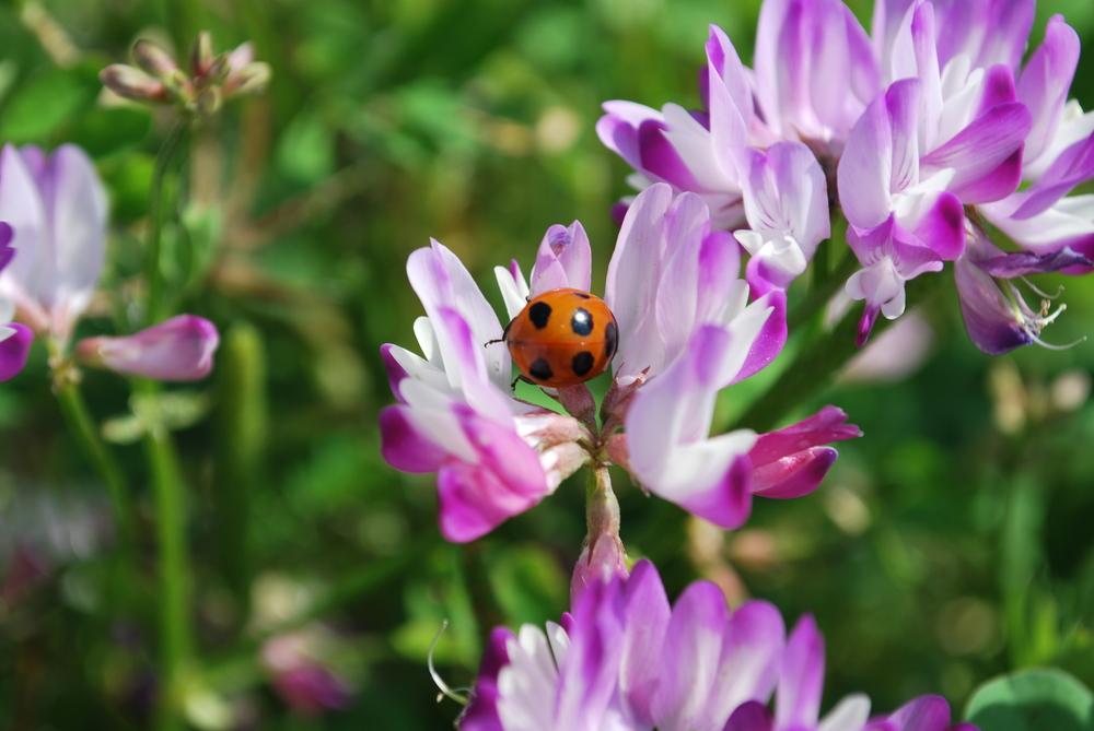 Astragalus Flower